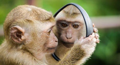 Monkey looking it itself in a mirror