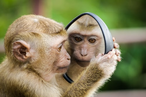 Monkey looking it itself in a mirror