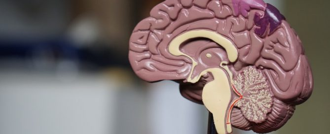 A model of the human brain