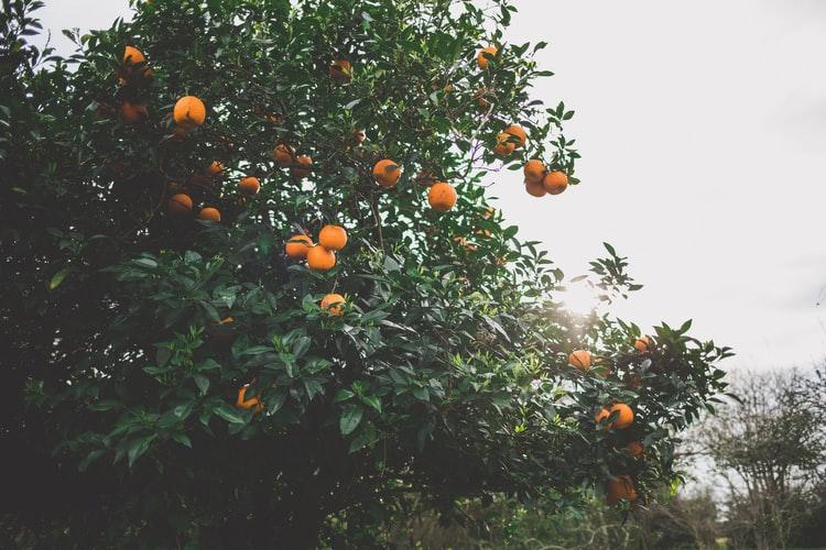 Orange tree with ripe fruit